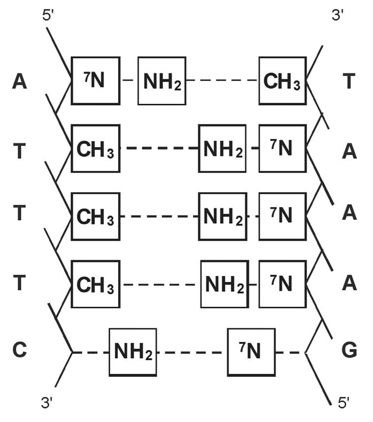 Sequence of nucleotide pairs