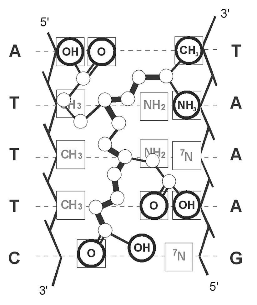Scheme of complementary interaction of tetrapeptide Ala-Glu-Asp-Gly with DNA double helix