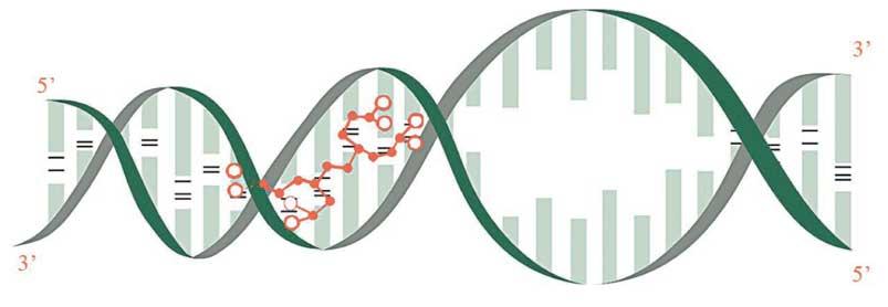 (Ala-Glu-Asp-Gly) binding in DNA double helix
