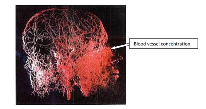 Figure 2: The nasal cavity is rich in vasculature
